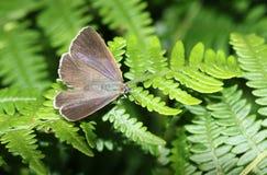 相当女性紫色翅上有细纹的蝶蝴蝶Favonius栎属在蕨栖息 图库摄影