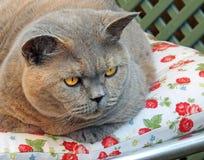 相当家谱机敏的猫 库存照片