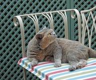 相当家谱猫姿势 库存图片