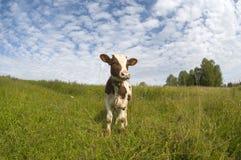 相当小的公牛 图库摄影
