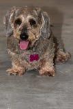 相当年长硬毛的微型达克斯猎犬画象  免版税库存图片