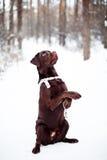 相当棕色拉布拉多猎犬 库存照片