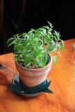 相当泥罐的绿色植物在木桌上 免版税图库摄影