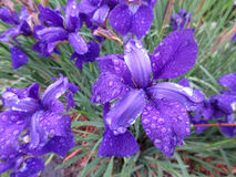 相当湿紫色虹膜花 免版税库存图片