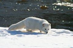 相当白狐在冬天 免版税库存照片