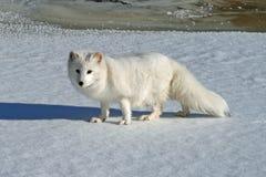 相当白狐在冬天 免版税库存图片