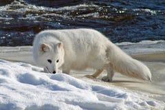 相当白狐在冬天 图库摄影