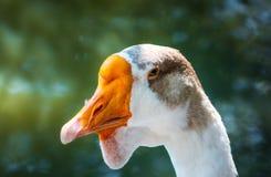 相当白色鹅美丽的画象 免版税库存照片