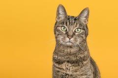 相当看在一黄色backgr的母虎斑猫照相机 库存照片