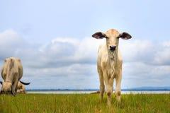 相当站立在绿色牧场地的小的小牛 库存图片