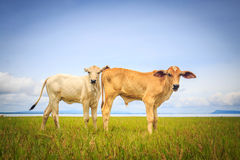 相当站立在绿色牧场地的小的小牛 免版税库存照片