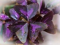 相当紫色三叶草在雨中 免版税库存图片