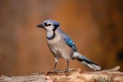 相当蓝色尖嘴鸟 库存照片