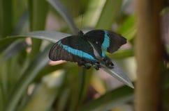 相当黑和蓝色鲜绿色Swallowtail蝴蝶本质上 库存图片