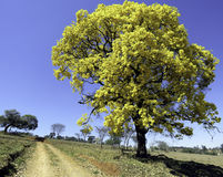 相当黄色树 & x28; Handroanthus albus& x29; 免版税库存照片