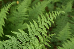 相当绿色蕨叶状体在一个狂放的自然庭院里 免版税库存图片