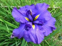 相当紫色虹膜花 库存图片