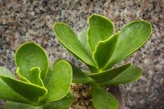 盾状体多汁植物 库存照片