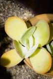 盾状体多汁植物 免版税库存图片