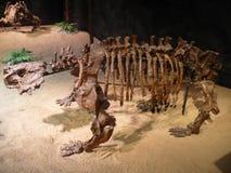 盾甲龙Karpinskii -真正的骨骼 库存图片