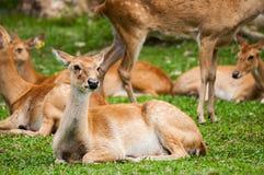 眉头鹿角的鹿在动物园里 免版税库存照片