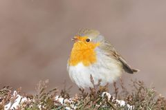 画眉欧洲知更鸟rubecula 库存图片