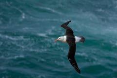 黑眉毛的信天翁, Thalassarche melanophris,鸟飞行,大西洋海的波浪,福克兰群岛的 免版税图库摄影