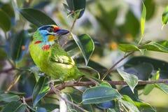 黑眉毛的热带巨嘴鸟 免版税库存图片