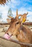 眉头鹿角的鹿 库存图片