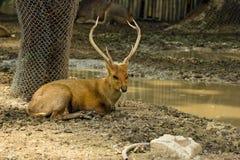 眉头鹿角的鹿 库存照片