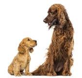 看一个爱尔兰人的特定装置的英国猎犬小狗 库存照片