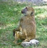 看一个滑稽的狒狒的被隔绝的照片在旁边 免版税库存照片