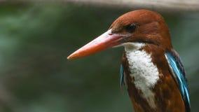 看一些的一只小的鸟白红喉刺莺的翠鸟输入 免版税库存照片