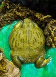 看一只大非洲小精灵的青蛙今后坐和 免版税图库摄影