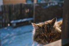 看一只家养的长的头发的猫直接 免版税库存图片