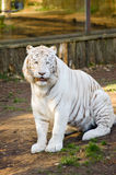 看一只白色老虎 免版税库存照片