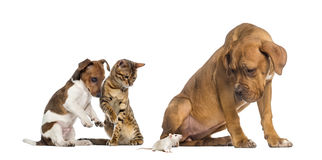 看一只白色鼠的狗和猫 库存照片