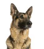 看一只的德国牧羊犬的特写镜头, 4,5岁 库存照片