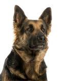 看一只的德国牧羊犬的特写镜头, 4岁 图库摄影