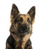 看一只的德国牧羊犬的特写镜头, 4岁 免版税库存照片