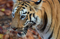 看一只野生的老虎的顶头射击  免版税库存图片