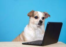 看一台微型便携式计算机的胖的奇瓦瓦狗狗 库存照片