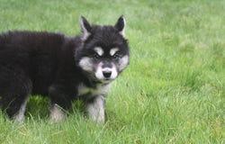 看一少许紧张的Alusky小狗和谨慎 库存照片