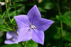 看一朵开放紫色蓝色桔梗花的里面 库存图片