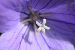看一朵开放紫色蓝色桔梗花的里面 库存照片