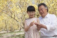 看一朵花的微笑的女孩和她的祖父在公园春天 库存图片