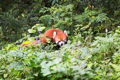 看一朵花的红熊猫在森林里 库存照片