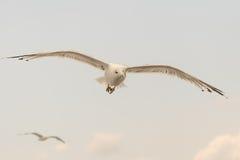 看一看海鸥悬而未决的飞行狂放的  免版税库存照片