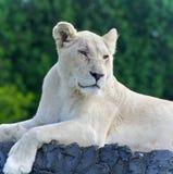 看一头白色的狮子的被隔绝的照片在旁边 库存照片