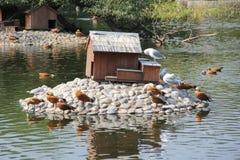 看上去鸭子其湖反射游泳水 照片10 库存照片